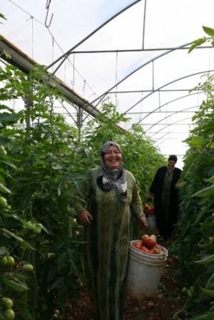 ▲トマト農場で働くマハ――2011年12月、ジェニン