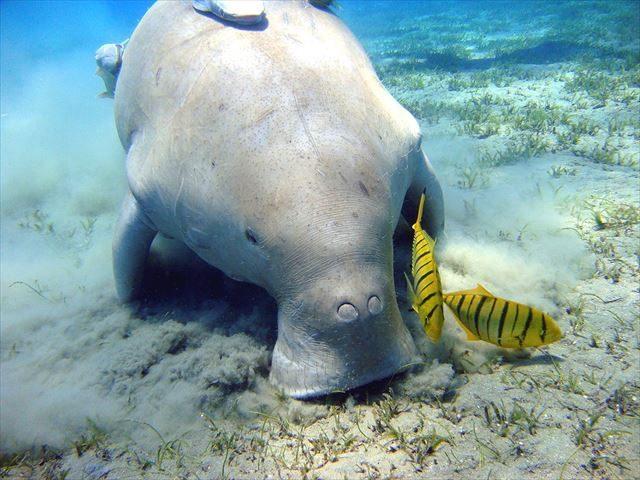 ▲ジュゴン(ウィキペディアより)。絶滅危惧種であり、非常にデリケートな生物で、わずかな騒音にも反応する。辺野古基地建設予定の名護市・大浦湾は、世界でも数少ないジュゴンの生育地である。